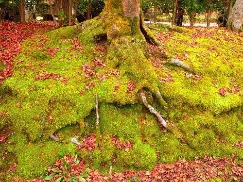 常寂光寺境内の苔の上に散り敷く紅葉