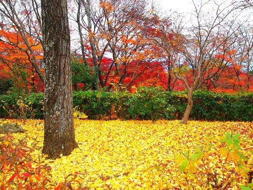 黄色くなった銀杏の葉と紅葉の木々の赤色との対比