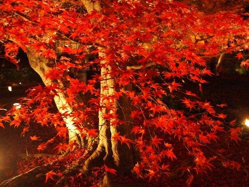 血のしたたるような赤さの紅葉の木