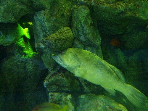 しながわ水族館で、ウツボの下で眠り込む魚