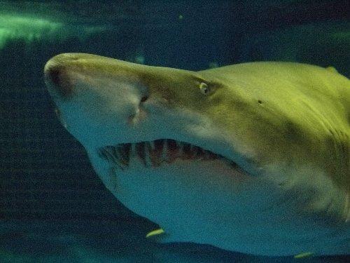 しながわ水族館のサメ
