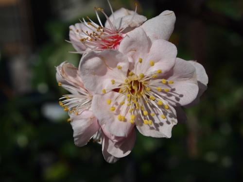 「異人坂」の桜