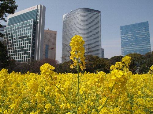 汐留の高層ビル群をバックに浜離宮の菜の花