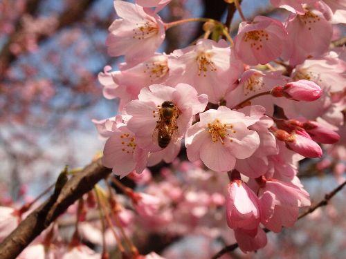 三宅坂の国立劇場前の庭の「神代曙」と蜂