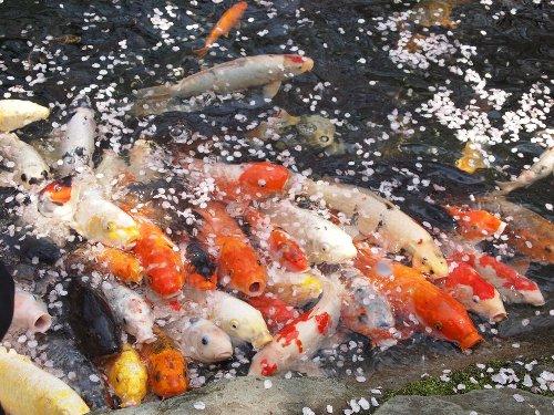 愛宕神社の錦鯉