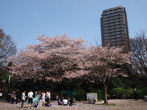 NHK放送会館がある広場の染井吉野の下でお花見