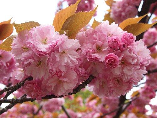 不忍池で満開の八重桜