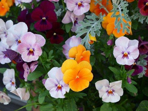 番場通りの民家の花