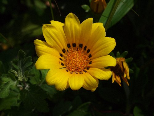 S字坂のキク科の植物