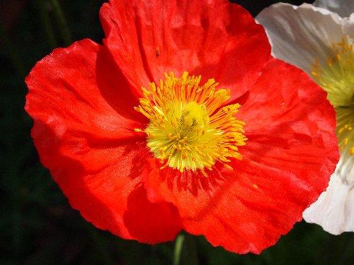 S字坂のケシの花