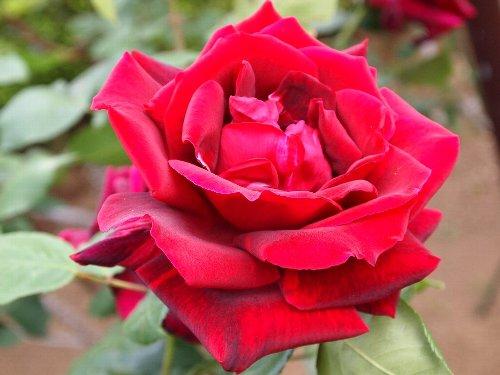 パパメイアン、1963年、フランス:メイアン、芳香あり、黒薔薇の有名品種