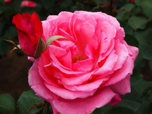 芳純(ほうじゅん)、1981年、鈴木省三、香りの薔薇の代名詞