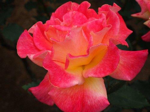 リオ・サンバ、1993年、アメリカ:J&P、開花につれて花色が変化する