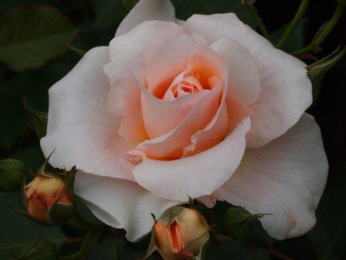 琴音(ことね)、2003年、日本:京成バラ園芸、芳香あり