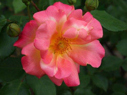 マスケラード、1949年、アメリカ:ボナード、花の色が黄→桃→紅と変化する