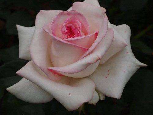 初恋(はつこい)、1994年、日本、京成バラ園芸、芳香あり