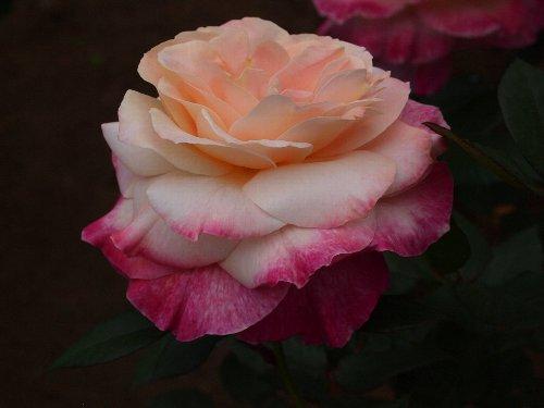 デザート・ピース、1974年、フランス:メイアン、開花につれて花の中心がクリーム色に変化