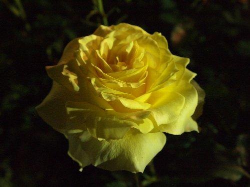 ライトアップされた古河庭園の薔薇