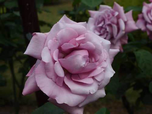 古河庭園の薔薇、シャルル・ドゴール