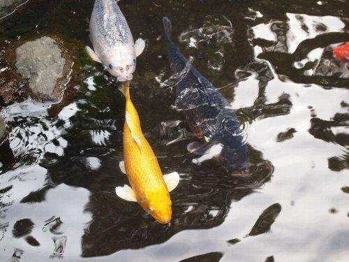 高幡不動の弁天堂の池の緋鯉