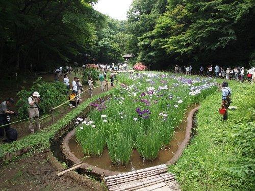 明治神宮の花菖蒲苑。この右側に赤いバケツを持って立っているおじさんが、花菖蒲の世話係らしい。