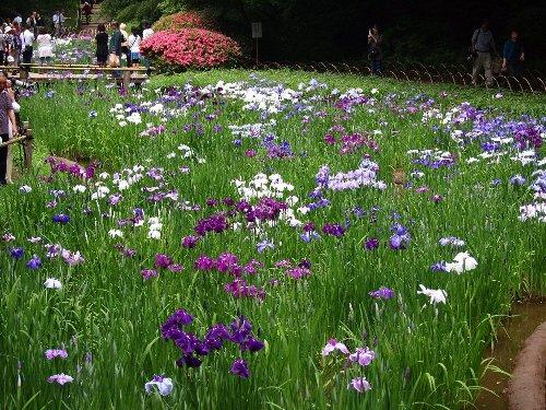 明治神宮の花菖蒲とサツキ
