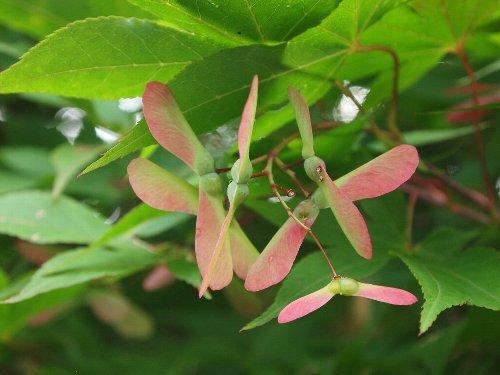 本土寺の紅葉の種