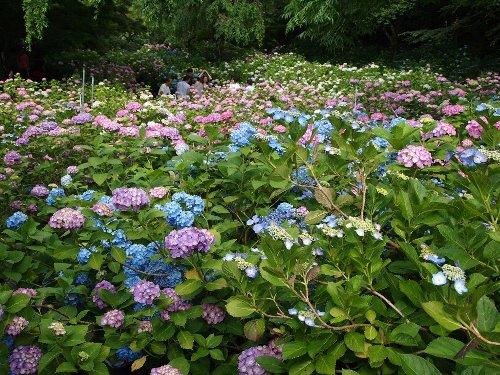 本土寺の美しい紫陽花の群落