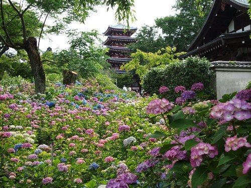 本土寺の美しい五重塔と紫陽花の群落