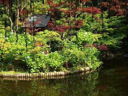 本土寺の睡蓮池と手前にぶら下がる藤棚の藤の実