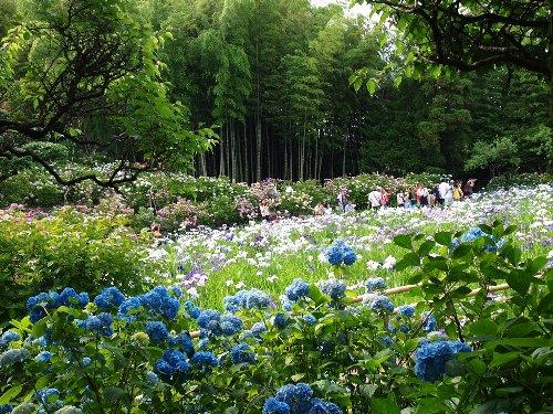 本土寺の菖蒲池と紫陽花の群落と竹林