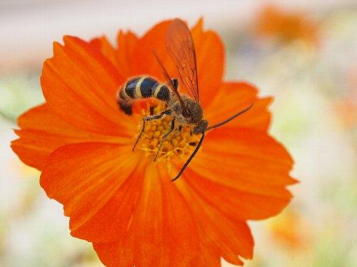 黄花コスモスの蜜を吸う蜂