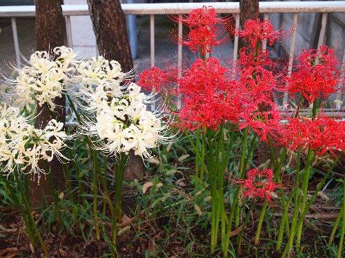 曼珠沙華の赤と白の花