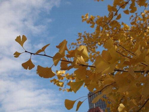 行幸通りの銀杏越しに見た青い空