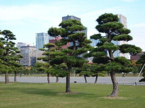 2人でダンスをしているように見える松の木