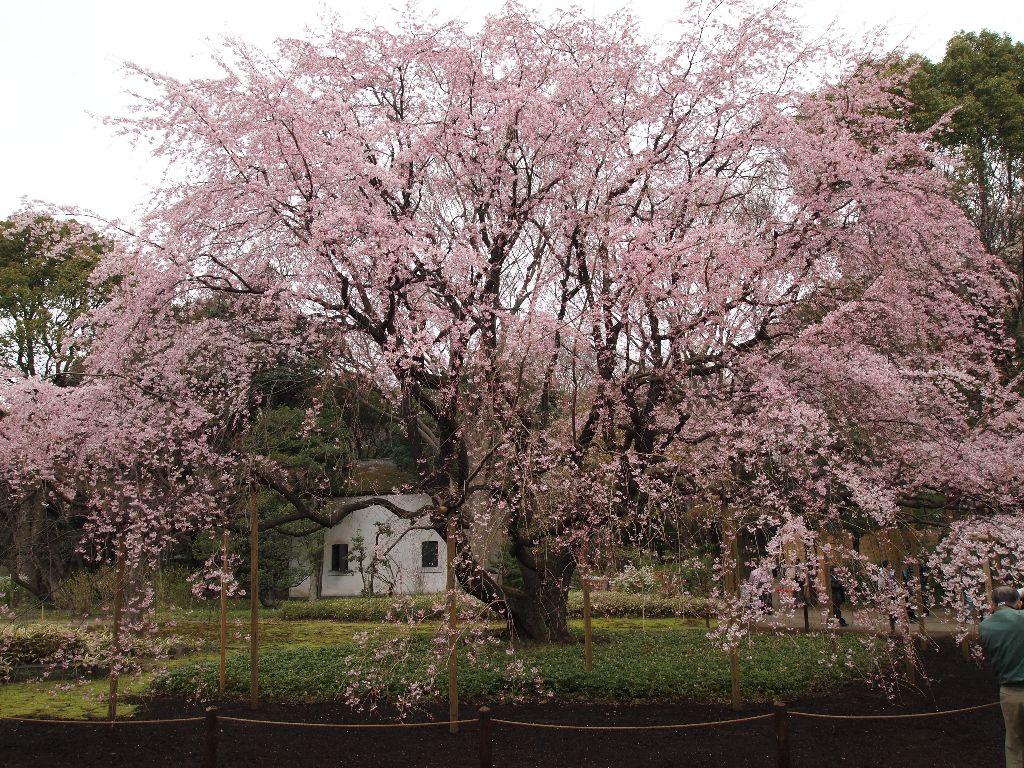 六義園の豪華絢爛たる枝垂れ桜