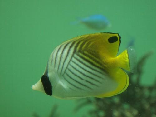 熱帯魚の定番のフエフキヤッコ