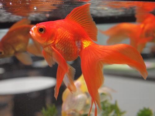 レストランの金魚