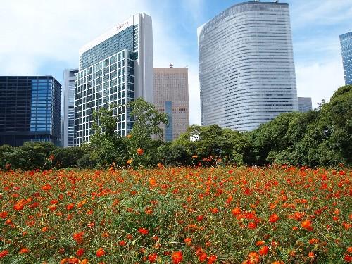 汐留の超高層ビルを背景として咲き乱れるコスモスのお花畑