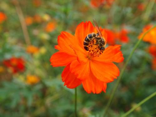 キバナコスモスの花で、体を丸めて一心に蜜を吸うハチ。ひょっとして、これから銀座のビルの屋上にある巣箱に帰り、Made in Ginza の蜂蜜を提供するのかもしれない。