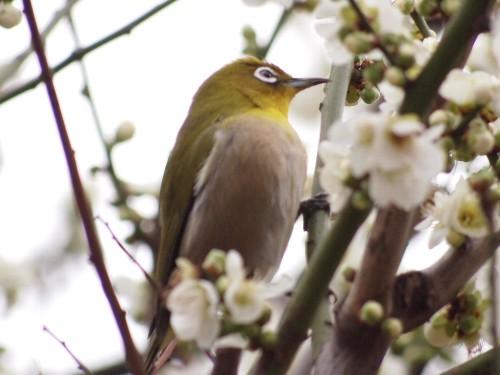 湯島天神の白梅の木にメジロ