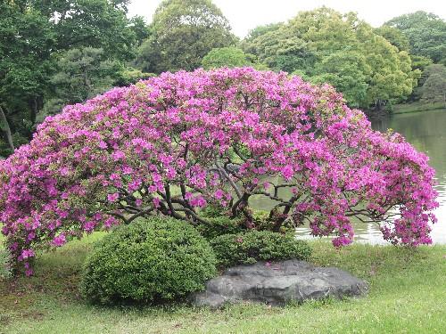 大紫のツツジ