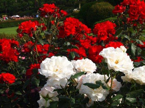 新宿御苑の春の薔薇