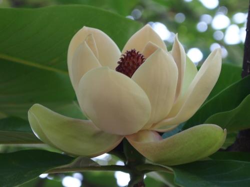 新宿御苑の朴の木の花