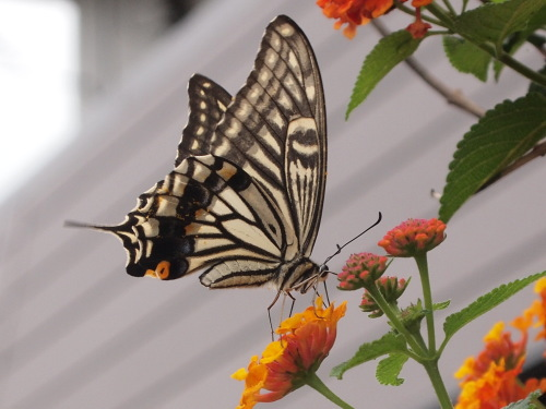 七変化の花に蜜を吸いに来た揚羽蝶