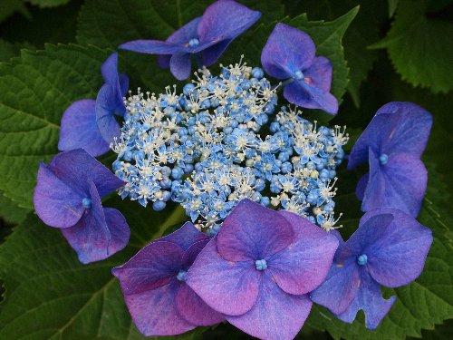 堀切菖蒲園に行く道すがらの紫陽花