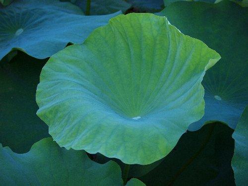 不忍池の蓮の葉