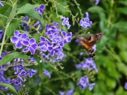 紫色のデュランタ
