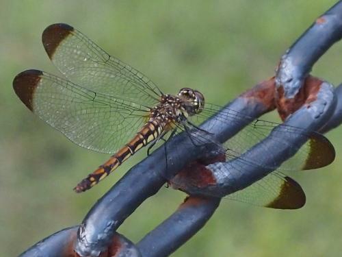 鉄の鎖に止まった蜻蛉