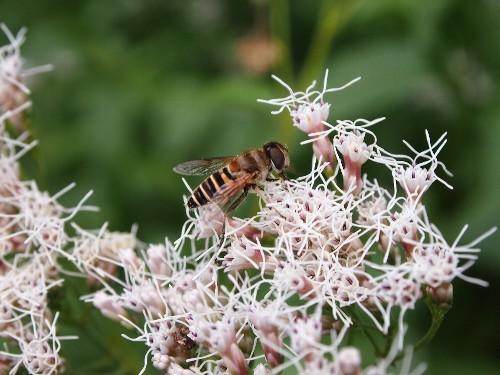 白い藤袴の花に飛んで来た蜂